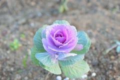 有机圆白菜花自然背景被种植在庭院 库存图片