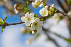 有机开花的樱桃在春天果树园晴天 库存图片