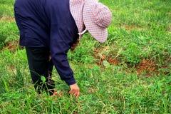 有机收获绿色青葱的农夫 库存照片