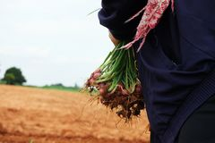 有机收获绿色青葱的农夫 免版税库存图片