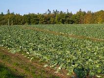 有机新近地增长的圆白菜领域 免版税库存照片