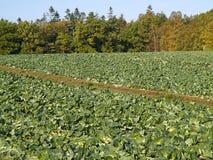有机新近地增长的圆白菜领域 免版税图库摄影