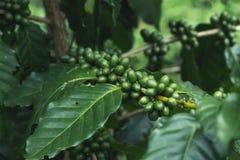 有机新鲜的咖啡树绿色的咖啡豆 免版税图库摄影