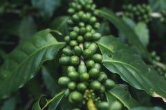 有机新鲜的咖啡树绿色的咖啡豆 库存照片