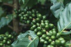 有机新鲜的咖啡树绿色的咖啡豆 图库摄影