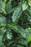 有机新鲜的咖啡树绿色的咖啡豆 库存图片