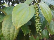 有机新鲜的胡椒在庭院里 免版税图库摄影