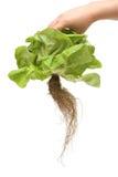 有机新鲜的莴苣 免版税图库摄影