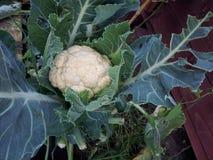 有机本地出产的花椰菜 免版税库存照片