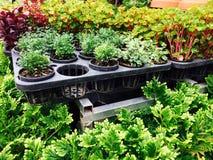 有机植物,草本,菜园农场在夏天 库存图片