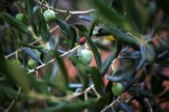 有机橄榄树 图库摄影