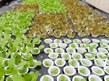 有机水耕的蔬菜 免版税库存图片