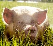 有机猪 库存照片