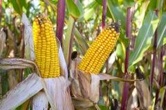 有机玉米棒子 免版税图库摄影