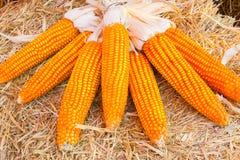 有机甜玉米 免版税库存照片