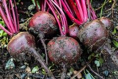 有机甜菜 新鲜从土壤 免版税库存照片