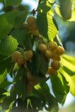 有机白色樱桃 库存照片