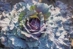 有机的圆白菜 圆白菜新绿色题头 库存照片