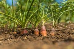 有机的红萝卜 红萝卜生长 免版税库存照片