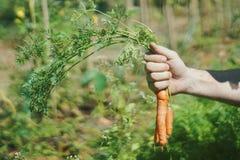 有机的红萝卜 库存照片