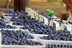 有机的蓝莓 库存图片