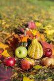 有机红色苹果、南瓜和秋叶在秋天从事园艺 库存图片