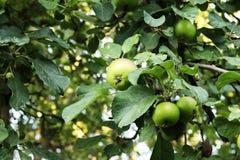 有机绿色苹果增长,不用在树的化学制品 免版税库存图片
