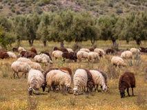 有机耕田在希腊 免版税库存照片