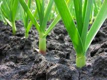 有机耕种的大蒜种植园 免版税库存图片