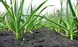 有机耕种的大蒜种植园 库存照片