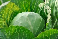 有机耕种的新鲜的圆白菜特写镜头  免版税库存图片