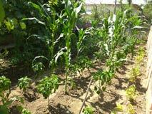 有机耕种的生长玉米和菜 免版税库存图片