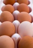 有机自由放养的鸡蛋 库存图片