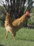 有机自由放养的鸡 免版税库存图片