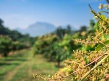 有机芒果农场在泰国的乡下 免版税库存图片