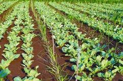有机花椰菜的领域,在浦那,马哈拉施特拉附近的种类芸苔 免版税库存照片