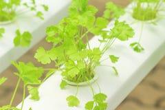 有机芹菜graveolens菜种植园在水栽法农场 免版税图库摄影