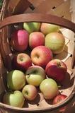 有机苹果园 免版税库存图片