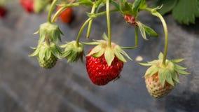 有机草莓在收获季节期间的农场 免版税库存照片