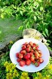 有机草莓 免版税图库摄影