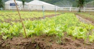 有机菜,新鲜的婴孩红色和绿色橡木沙拉莴苣生长 免版税库存图片