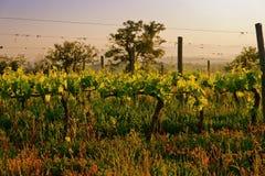有机葡萄园在托斯卡纳,意大利,被定调子 免版税库存图片