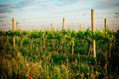 有机葡萄园在托斯卡纳,意大利,被定调子 免版税库存照片