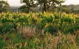 有机葡萄园在托斯卡纳,意大利 库存照片