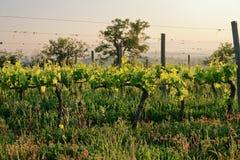 有机葡萄园在托斯卡纳,意大利 库存图片