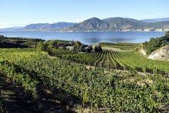 有机葡萄园Naramata Okanagan谷不列颠哥伦比亚省 免版税库存图片