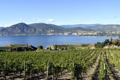 有机葡萄园Naramata Okanagan谷不列颠哥伦比亚省 免版税图库摄影