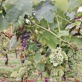有机葡萄在葡萄园里 免版税库存照片