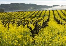 有机葡萄葡萄园在春天 库存照片