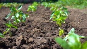 有机蔬菜庄稼在不伤环境的农场的沃土增长 影视素材